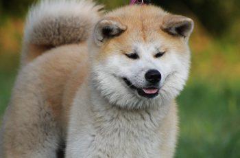 Akita snow dog