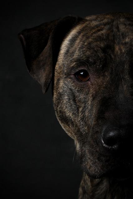 pittbull, dog, animals