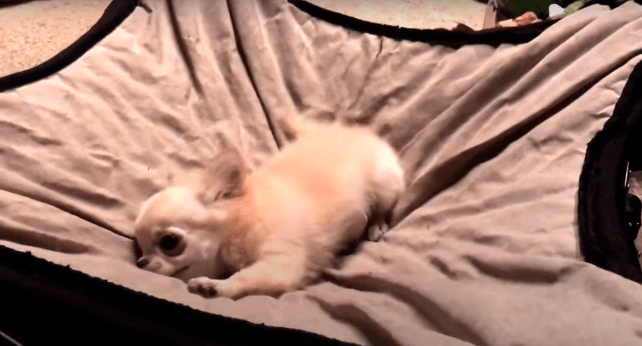 chihuahua energetic bedtime funny