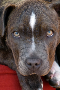 This Stray Pitbull Guarded a Missing St. Louis Toddler Until Reunited with Dad