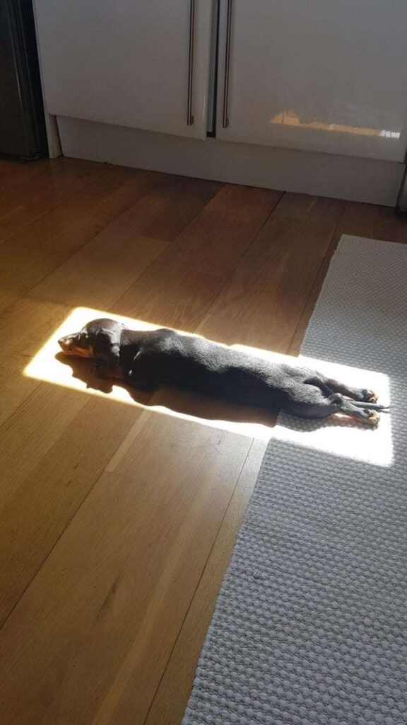 nellie dog naps in sunlight