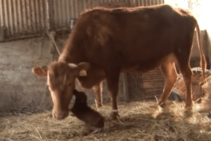 dog raised by cow
