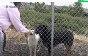 homeless puppies labrador rescued