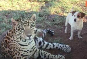 dog jaguar cat best friends