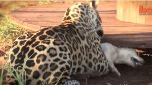 og jaguar cat best friends